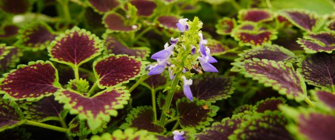 A pale purple flower grows among green and maroon leaves