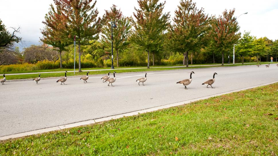 A family of geese cross the road at Humber's Lakeshore campus. They are lined up in a row, blocking the way.
