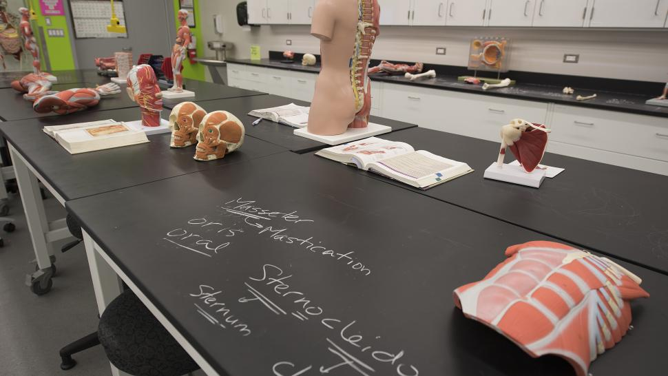 Anatomy models like skulls and muscle tissue sit on a bench in one of Humber's physiology and biology lab