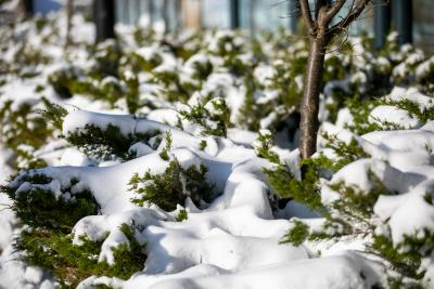 close-up image of snow-covered greenery on Lakeshore campus