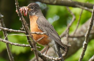 A red-chested robin perches on a tree with foliage in the background. It is seen from up-close with worms in its beak